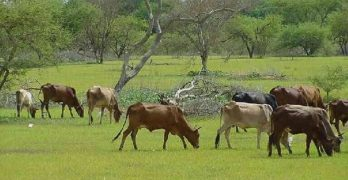 تغيرات مناخية تؤدي لتراجع إنتاج الثروة الحيوانية بدارفور